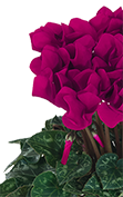 Cyclamen Midi+® 5095 - Purple