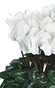 Cyclamen Midi+® 5124 - Pure white