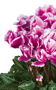 Cyclamen Midi+® ABANICO® Light purple