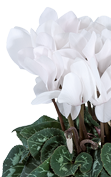 Cyclamen Premium 5124 Pure white