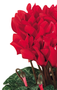 Cyclamen Smartiz® 6012 - Bright red