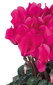 Cyclamen Smartiz® 6071 - Deep rose