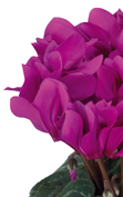 Cyclamen Smartiz® 6090 - Light purple