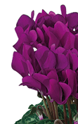 Cyclamen Smartiz® 6095 - Purple