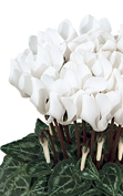 Cyclamen Smartiz® 6120 - Pure white