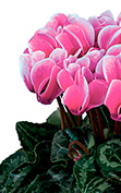 Cyclamen Smartiz® 6310 - FANTASIA® Rose