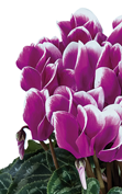 Cyclamen Smartiz® 6395 - FANTASIA®  Purple