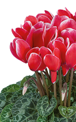 Cyclamen Tianis® 3311 FANTASIA® Red